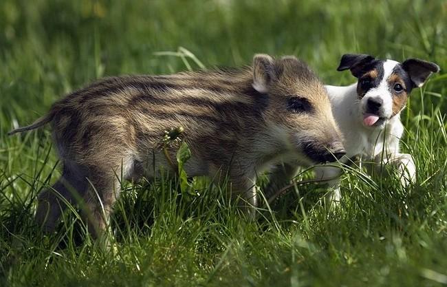 amitié chien marcassin