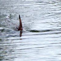 Un banc de requins le long des côtes anglaises …