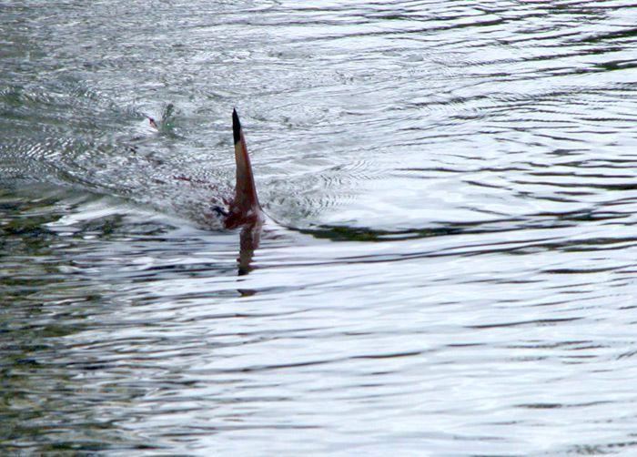 Des requins le long des côtes anglaises