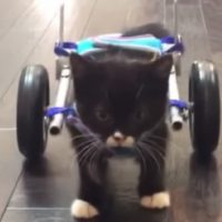 Un chaton marche grâce à une imprimante 3D