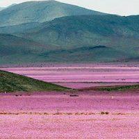 Quand le désert fleurit