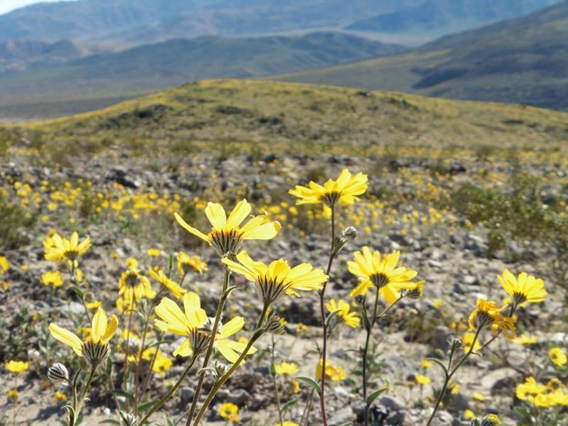 super bloom dans la vallée de la mort desert gold gros plan