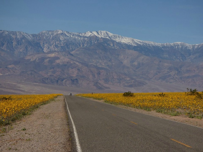 super bloom dans la vallée de la mort desert gold sur Badwater Road