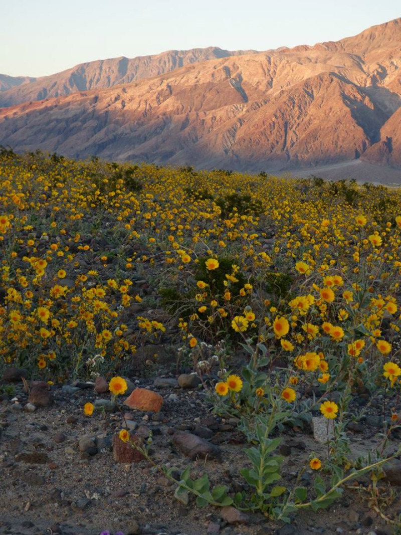 super bloom dans la vallée de la mort desert gold