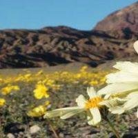 Super floraison dans la Vallée de la Mort