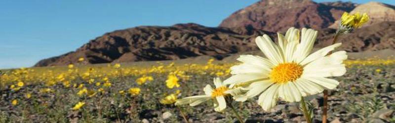super bloom dans la vallée de la mort Une