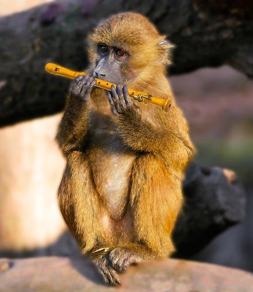 Singe jouant de la flûte